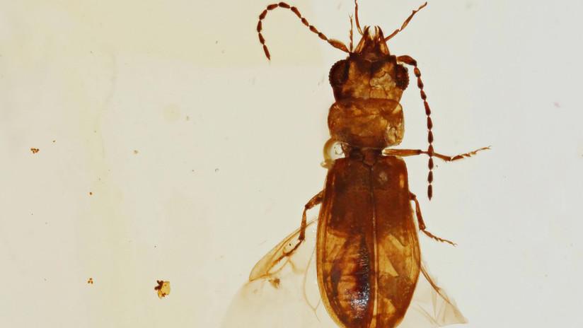 Hallan en un ámbar un coleóptero polinizador de 99 millones años de antigüedad