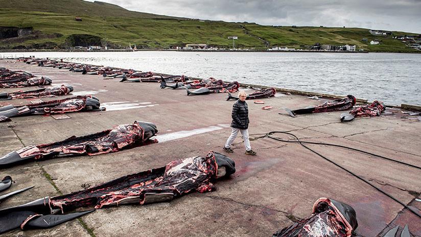 FUERTES IMÁGENES: Un macabro ritual danés acaba con un matanza de 180 ballenas