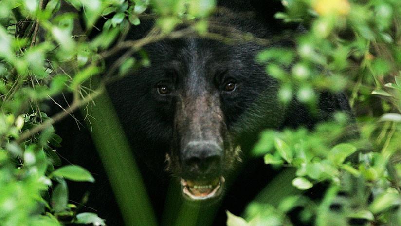 Recepcionista graba a oso que acomoda muebles en hotel, en Estados Unidos