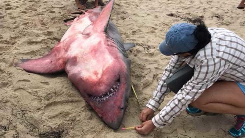 Desconcierto científico: Hallan muerto a tiburón con el cuerpo rojo y pesas en su interior (FOTOS)