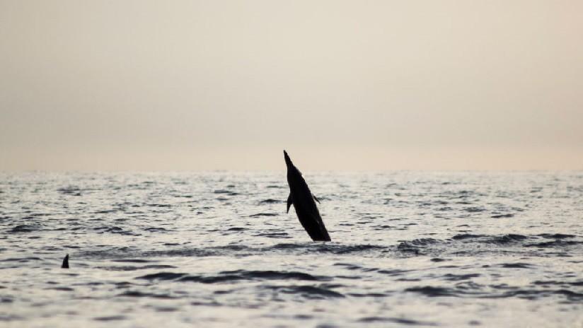 VIDEO: Un delfín aprende a 'caminar' sobre la superficie del agua y se lo enseña a sus 'amigos'