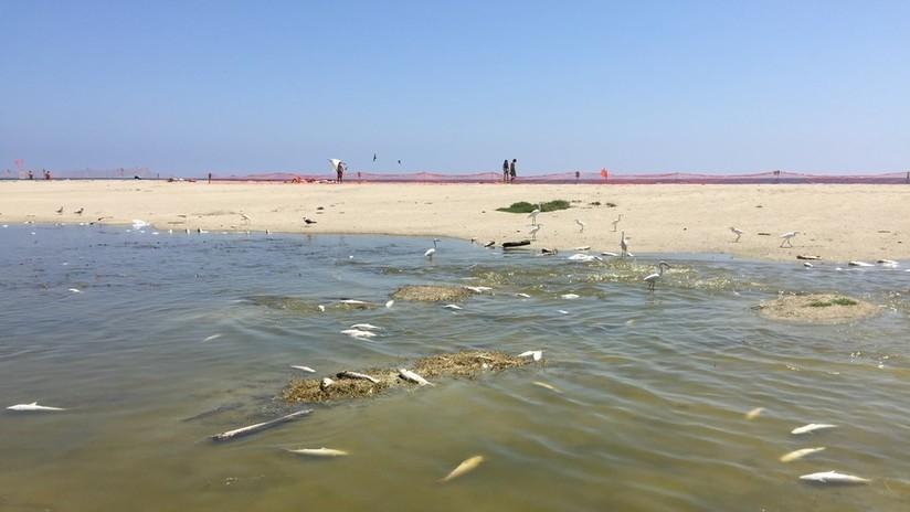 FOTOS: 2.000 peces 'cocidos' hasta la muerte en California a causa del extraordinario calor