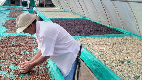 Leo recoge granos de café orgánico en su finca de Buena Vista, departamento del Quindío (Colombia).