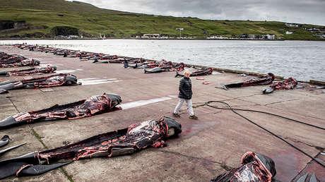 Ballenas piloto cazadas en el muelle en Jatnavegur, islas Feroe, el 22 de agosto de 2018.