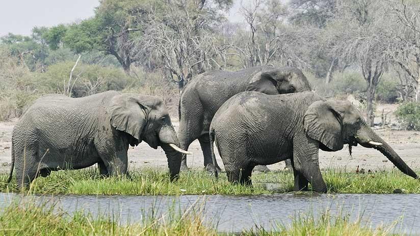 Matanza 'bestial' en África: Hallan casi 90 elefantes masacrados en Botsuana (VIDEO)