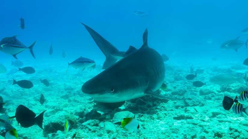 La encantadora de tiburones: Buceadora hipnotiza a un enorme escualo (VIDEO)