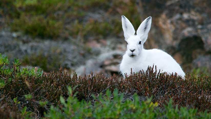 Los animales de pelaje invernal blanco 'mutan' debido al calentamiento global