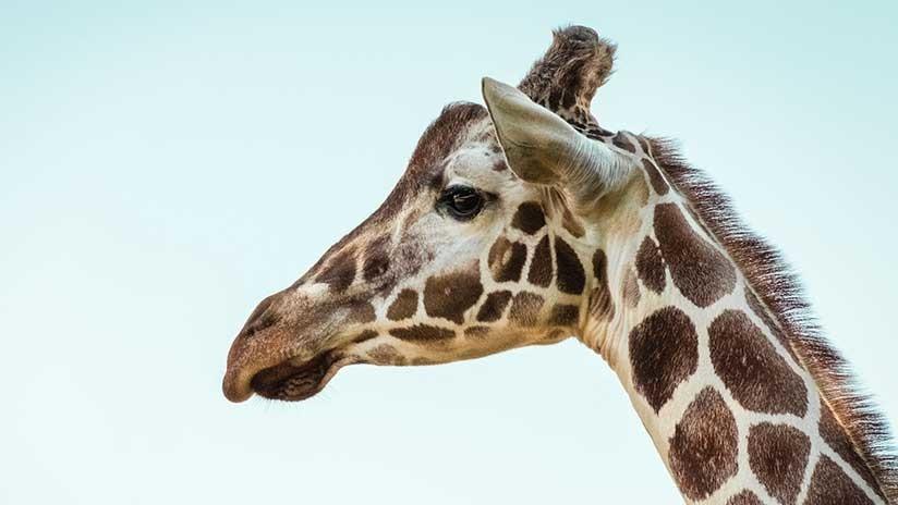 Madre e hijo son atacados brutalmente por una jirafa