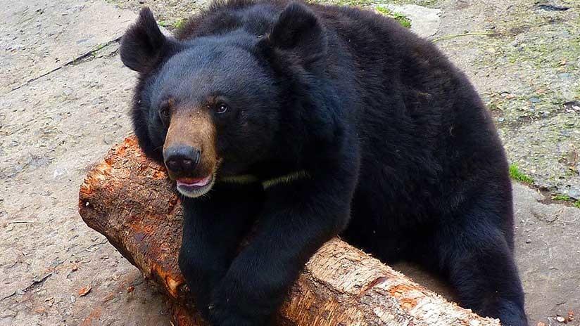 """La vida en un zoo ruso: """"El oso Kuzia, con el corazón roto, prefiere ahora la comida a las hembras"""""""