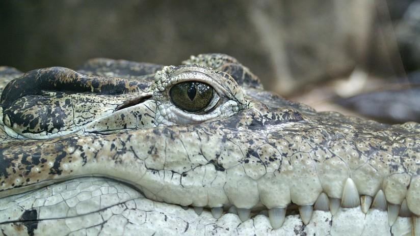 Hombre patea a cocodrilo en peligro de extinción