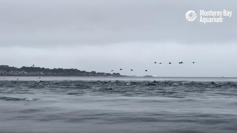 VIDEO: Captan cómo una 'supermanada' con cientos de delfines caza frente a las costas de California