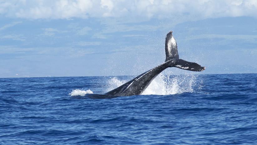 VIDEO: Una ballena jorobada emerge de manera inesperada y golpea un bote inflable con turistas
