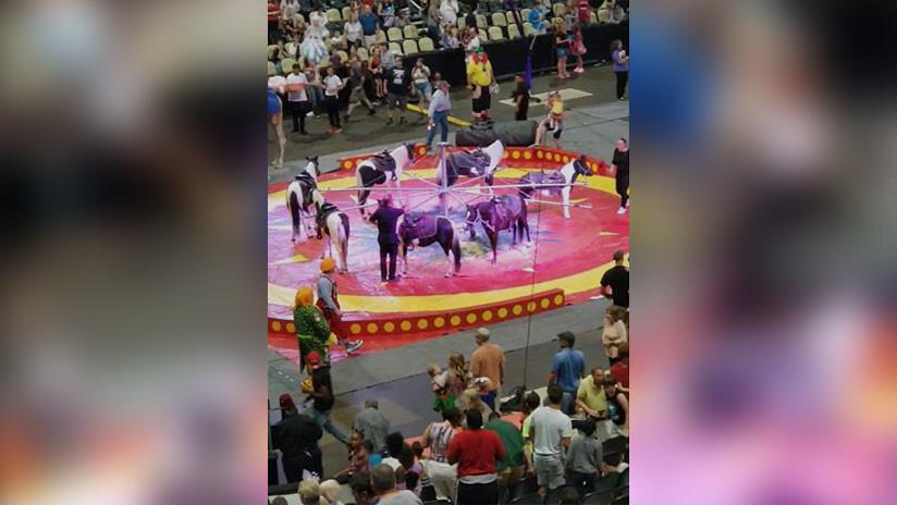 VIDEO: Camello fuera de control hiere a varios espectadores en un circo en EE.UU.