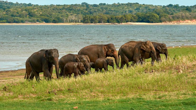VIDEO: Elefantes se reúnen en torno a su líder muerto para darle un emotivo último adiós
