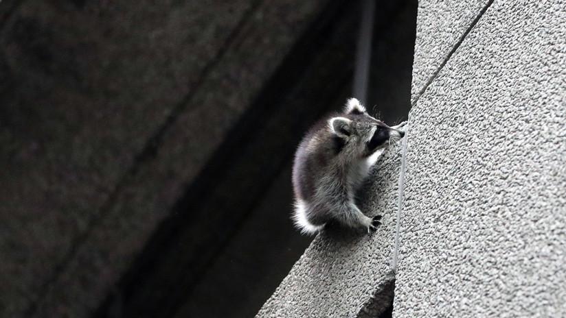 """""""El más duro de la historia"""": Un mapache se lanza desde un noveno piso y sobrevive (VIDEO)"""