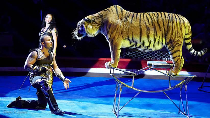 Una tigresa sufre un ataque de convulsiones en pleno espectáculo de circo
