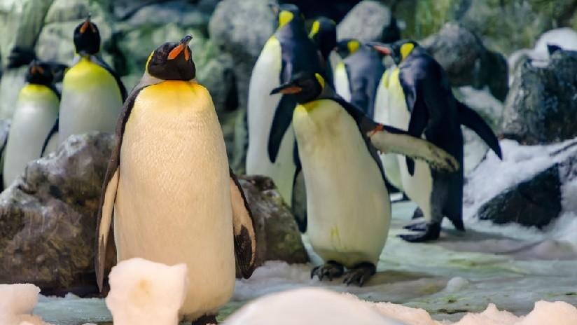 Viral: estos pingüinos machos