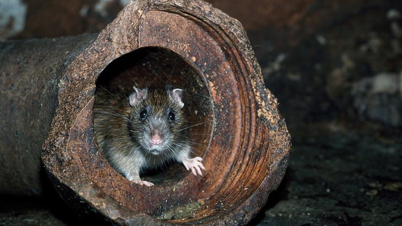 Detectan por primera vez en un ser humano un virus propio de las ratas