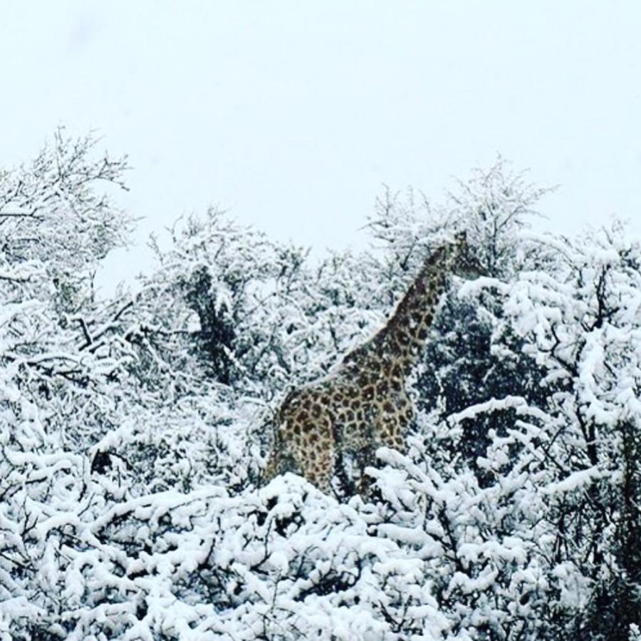 Inesperada nevada sobre la sabana de Sudáfrica deja impactantes postales