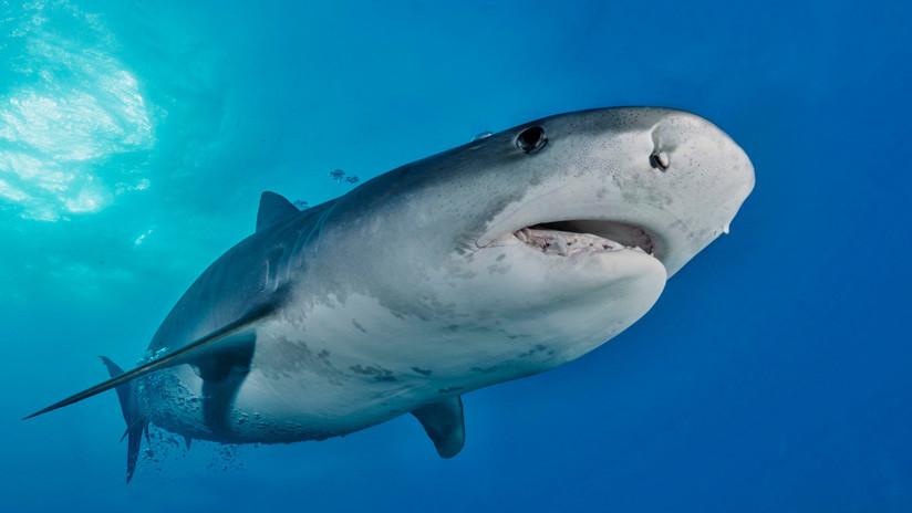 VIDEO: Enorme tiburón tigre se tumba en la playa para comer