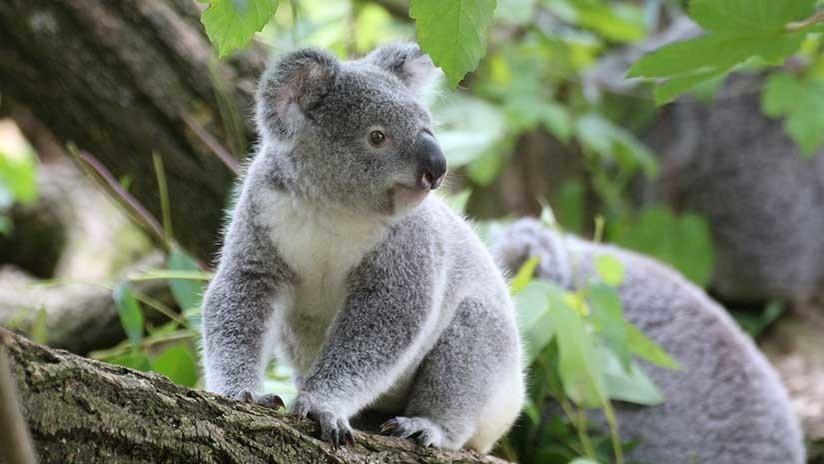 FOTOS: Una perra acomoda en su pelaje a un bebé koala para evitar que muera