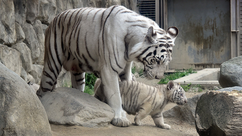 Un tigre blanco mata a un cuidador de zoo en Japón