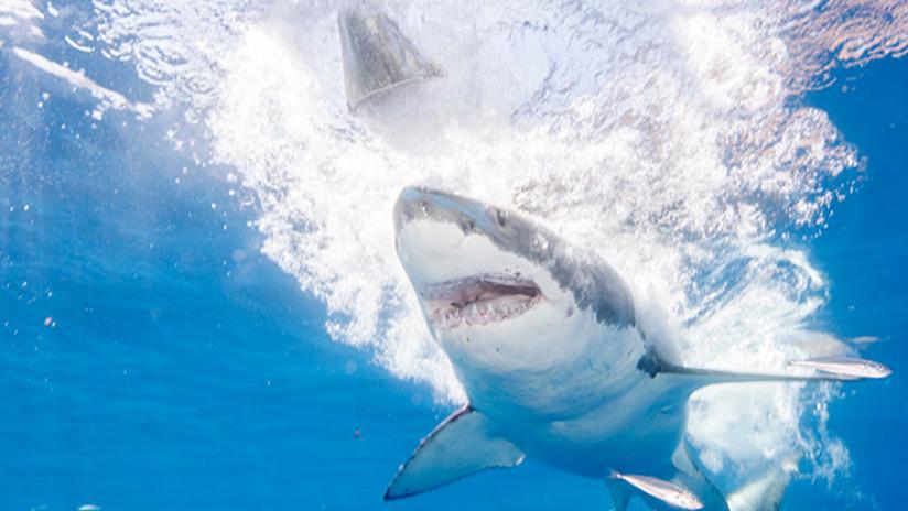 VIDEO: Un tiburón blanco ataca repentinamente a otro frente a un grupo de buzos