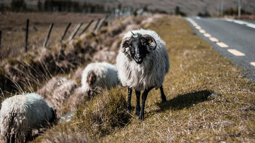 Karma instantáneo: recibe su merecido tras montarse sobre un carnero (VIDEO)