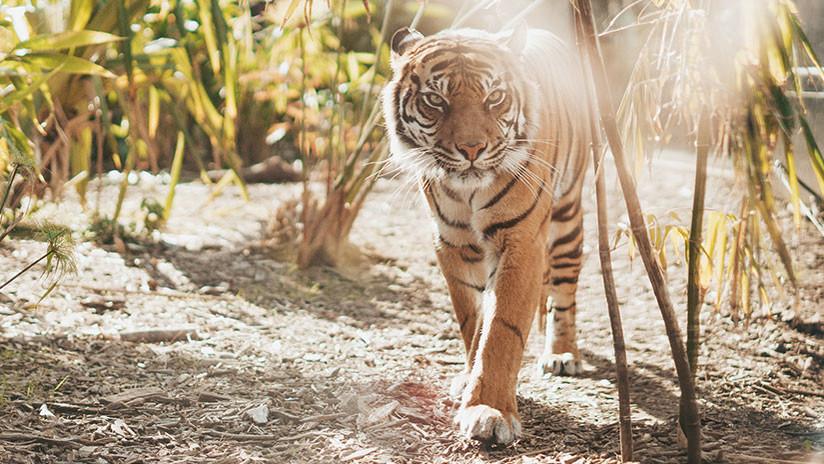 Colonia Calvin Klein podría ser la clave para dar con un tigre asesino en India