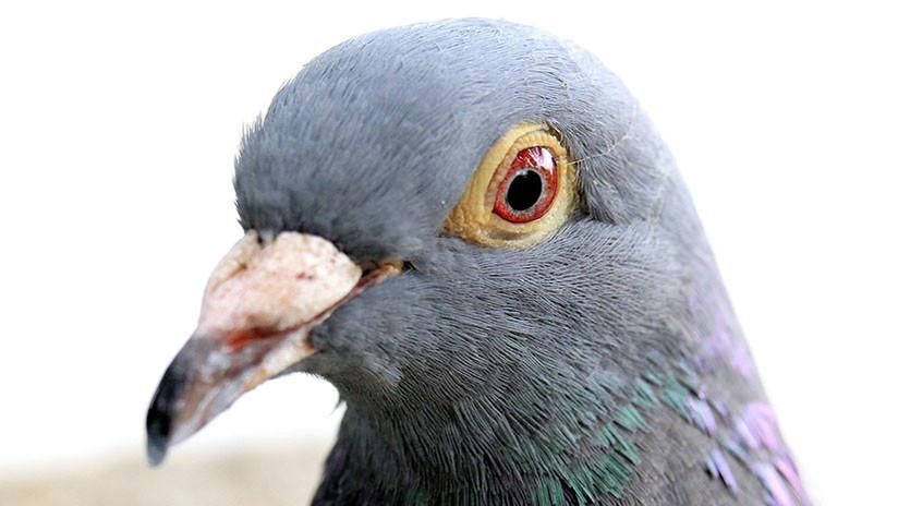 FOTO: Eligen una paloma 'borracha' como ave del año en Nueva Zelanda