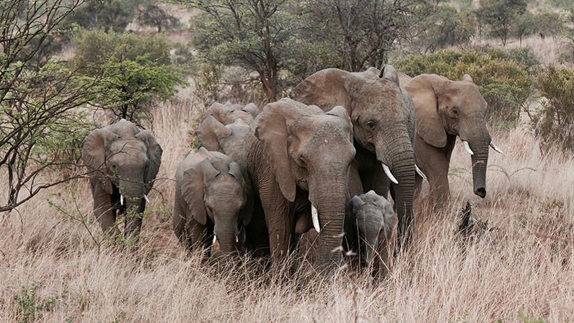 La venganza de la naturaleza: Disparan a un elefante y su manada se lanza contra ellos (VIDEO)