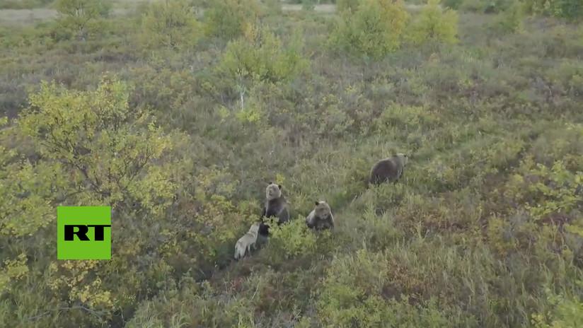 El instinto de la amistad: Un perro juega con una familia de osos en Rusia (VIDEO)