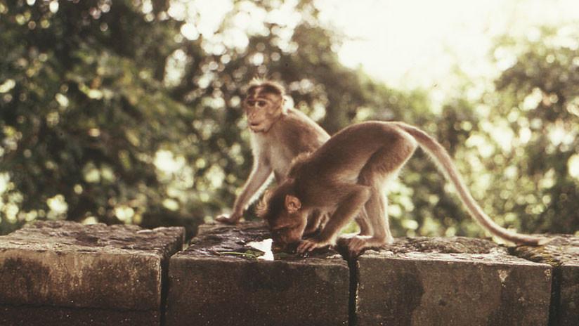 "Un grupo de monos ""malvados"" mata a un hombre anciano con más de 20 ladrillos"