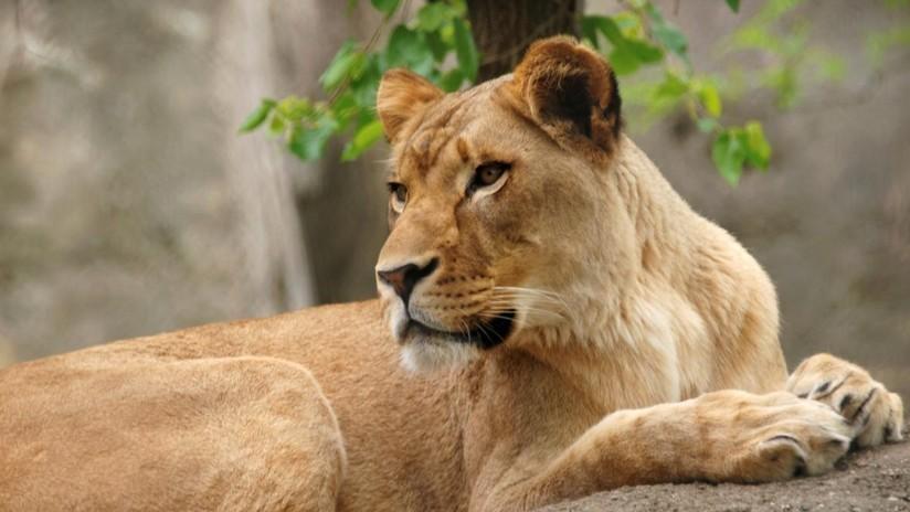 Mascotas: Impresionante! Una leona ataca a león hasta provocar su muerte