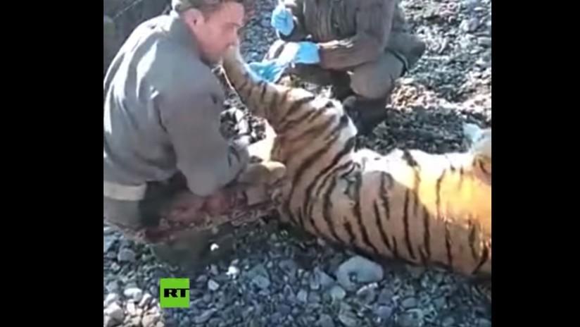 VIDEO: Expertos capturan en el Oriente Lejano ruso a un tigre de Amur por su extraño comportamiento