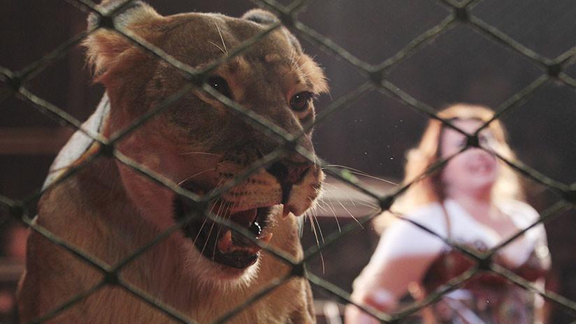 Rusia: La niña atacada por una leona en el circo entra en coma