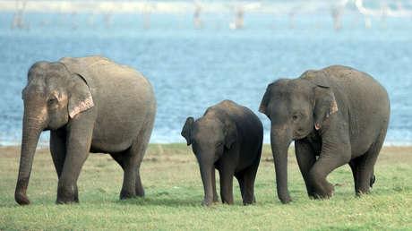 Elefante asiáticos en Habarana, Sri Lanka.