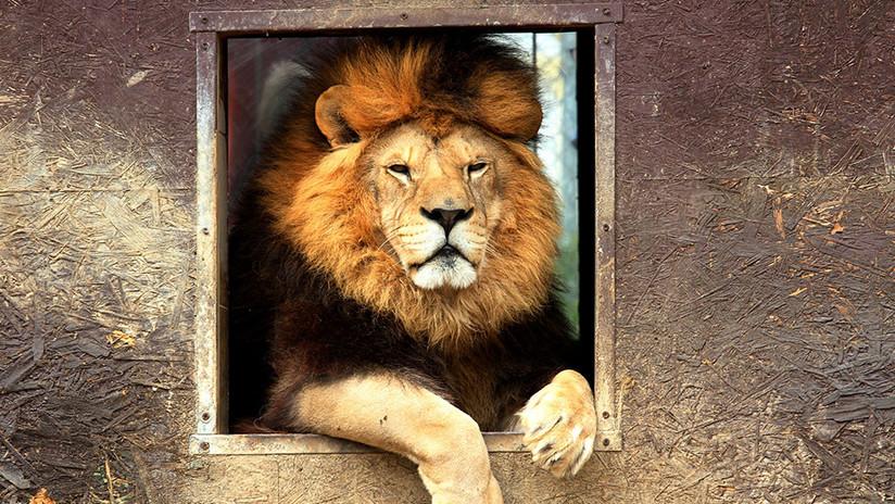 VÍDEO: borracho molesta a león de zoológico y es atacado brutalmente