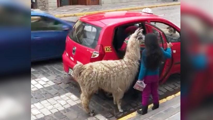 Viral: llama toma taxi junto con su dueña