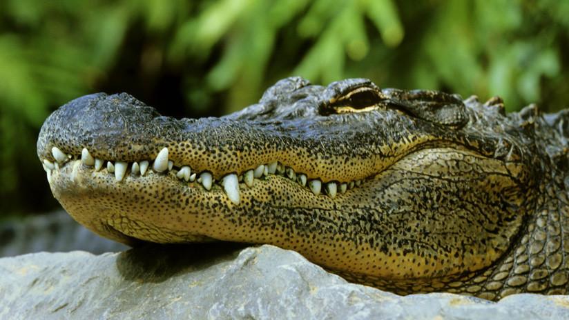 VIDEO: Acude a desalojar a un inquilino por impago y encuentra un caimán en el 'jacuzzi'