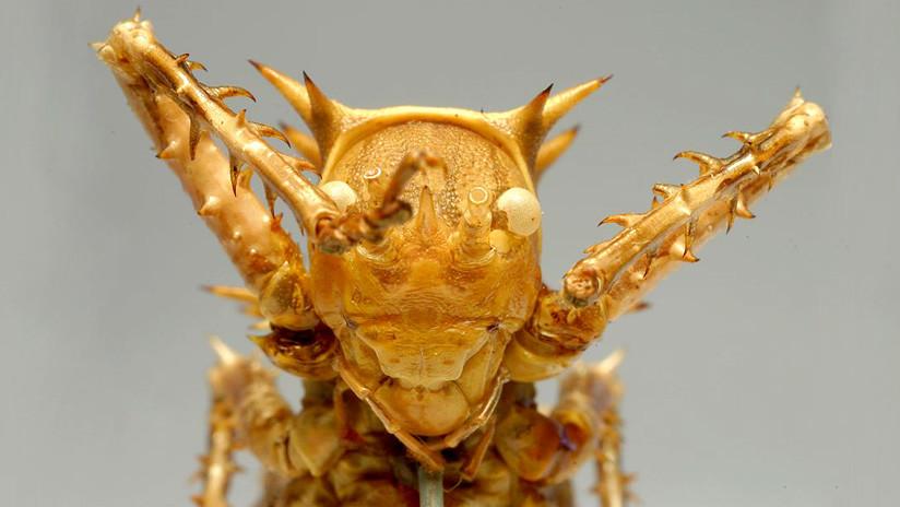 VIDEO: Un grillo erizo gigante devora a un insecto por completo en menos de un minuto
