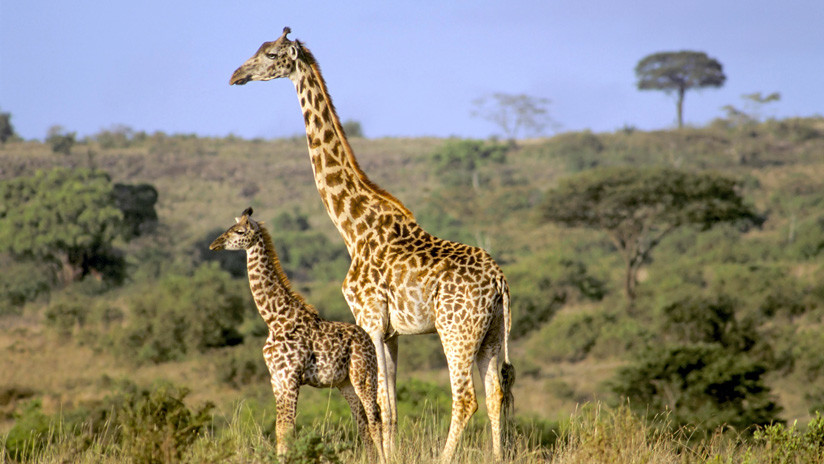 VIDEO: Madre jirafa se deshace de un grupo de hienas para salvar a su cría herida