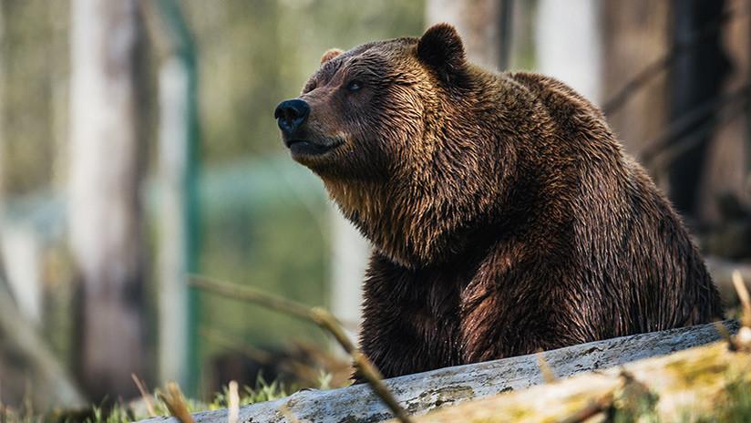 Un jubilado de 78 años se defiende de un oso golpeándolo en la nariz