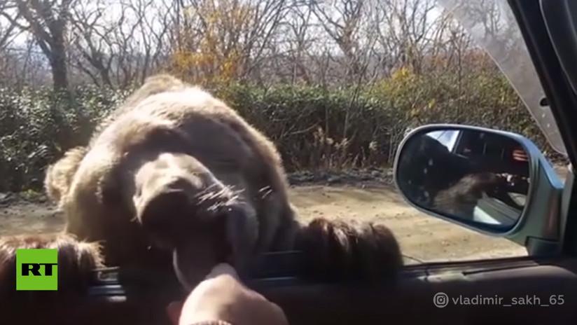 VIDEO: 'Sobornan' a un oso con galletas desde un coche para que les 'permita' pasar