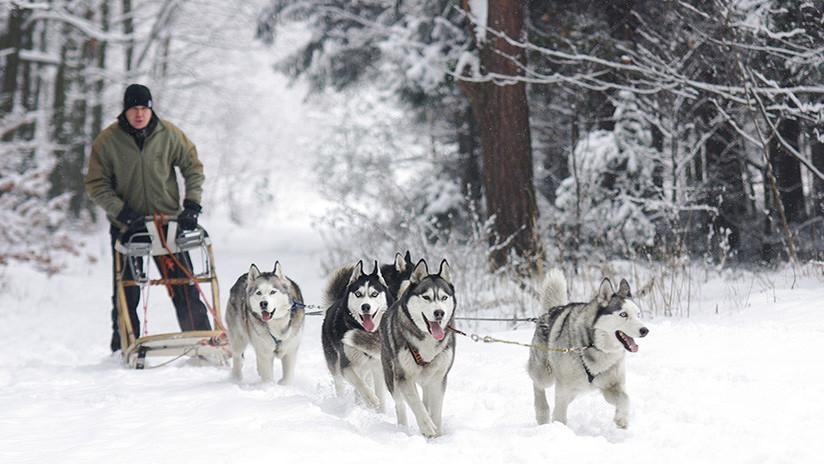Los daneses podrán conducir trineos tirados por perros por las carreteras públicas