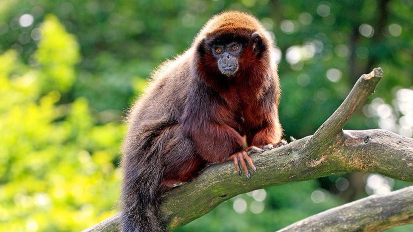 Resuelven el misterio del extinto mono del Caribe