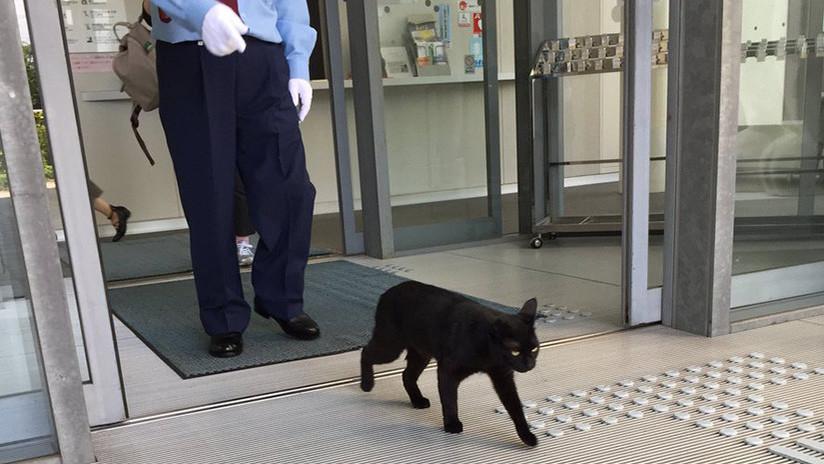 Gatos japoneses llevan dos años intentando entrar en un museo  (VIDEOS, FOTOS)