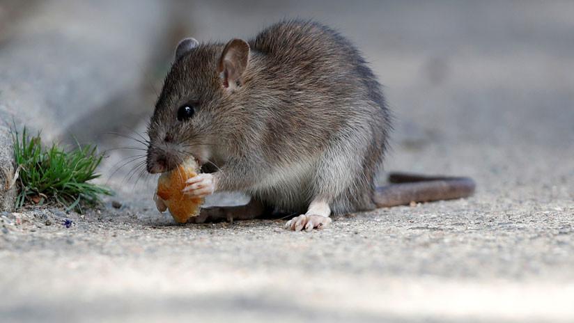 Alarma en Hong Kong tras detectarse el segundo caso de hepatitis de rata en humanos