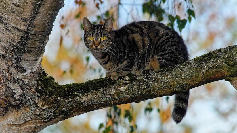 Indignación en España tras el hallazgo de un gato con 18 perdigonazos en la cabeza