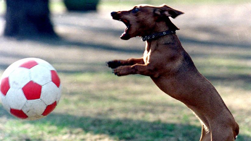 VIDEO: Un perro salchicha para un penalti durante un partido de fútbol en Brasil
